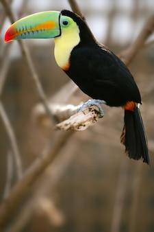 Kee gefactureerde kleurrijke toekanvogel