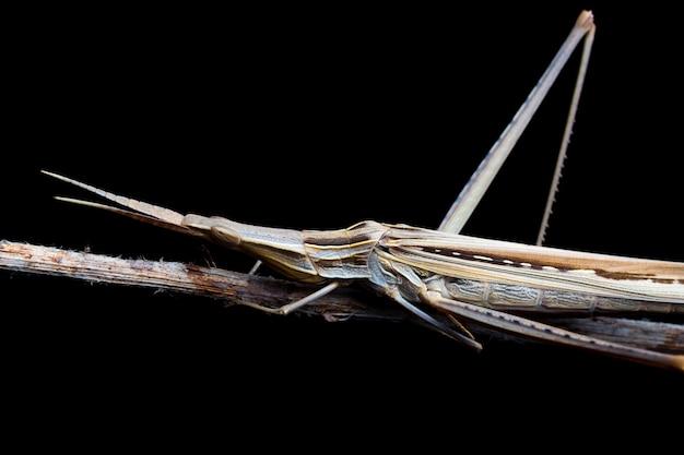 Kegel-geleide sprinkhaan (acrida-ungarica) tijdens de nacht