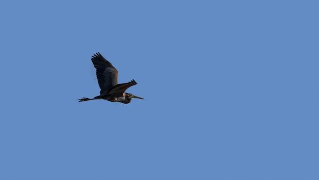 Keizerreiger die over blauwe hemel vliegt