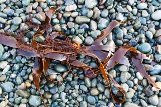 Kelp en strand rotsen oppervlak