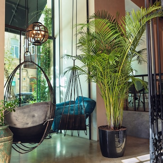 Kentia palm, howea forsteriana plant in restaurant interieur
