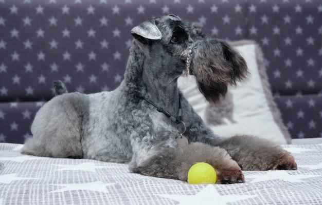 Kerry blue terriër ligt op het bed close-up. laat de hond zien na de trimprocedures.