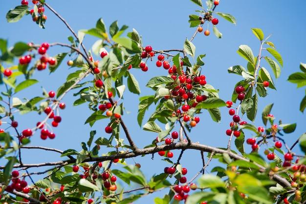 Kers op de tak groeit, gerijpte rode kers