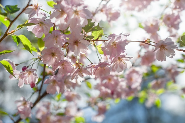 Kersebloesem. lente ansichtkaart.