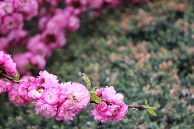 Kersebloesem. lente is gekomen. roze bloemen.
