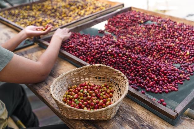 Kersen koffiebonen sorteren, handen koffiebonen sorteren