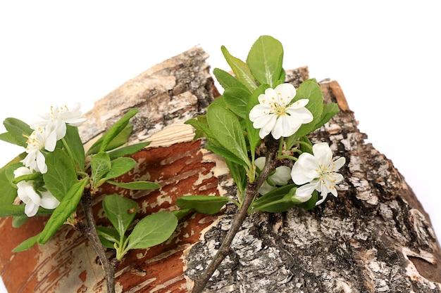 Kersenbloemen op boomschors die op witte samenstelling als achtergrond van natuurlijke de lentecollage wordt geïsoleerd
