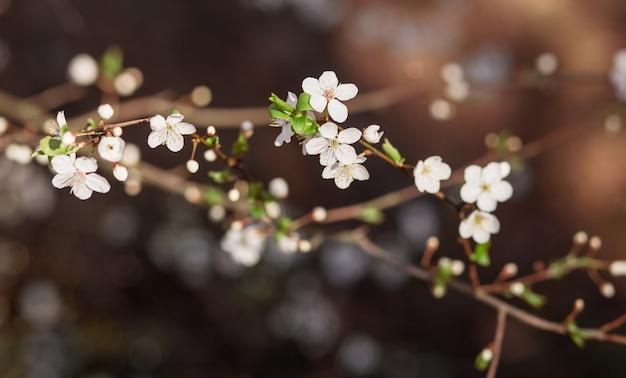 Kersenbloemen op de takken