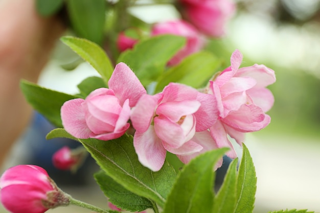 Kersenbloesem bloeit op een lentedag