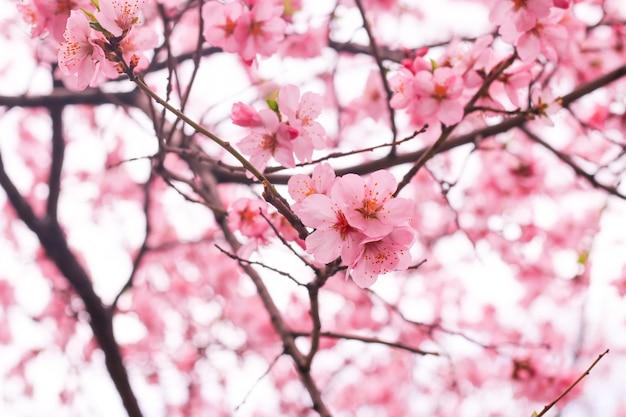 Kersenbloesem bloem