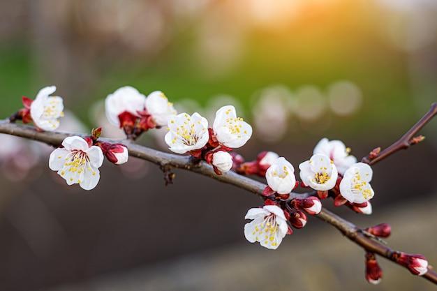 Kersenbloesem bloemen in de lente.
