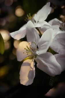 Kersenbloesem bloemen op een onscherpe achtergrond met bokeh close-up, selectieve aandacht. mei bloeiend.
