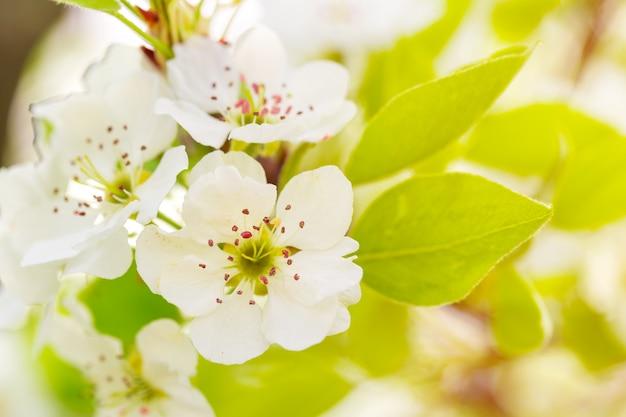 Kersenbloesem in de lente