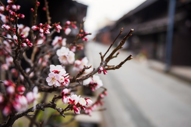 Kersenbloesem in de stad takayama