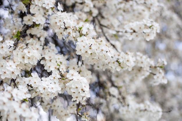 Kersenbloesem in het voorjaar, kersen witte bloem, tak