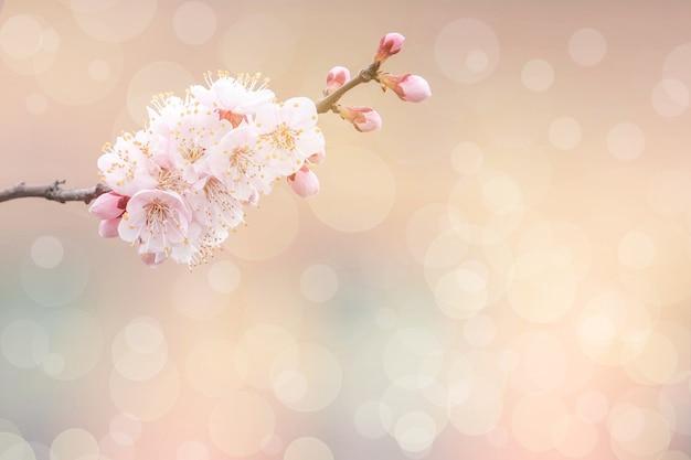 Kersenbloesem in het voorjaar voor achtergrond of kopieer ruimte voor tekst