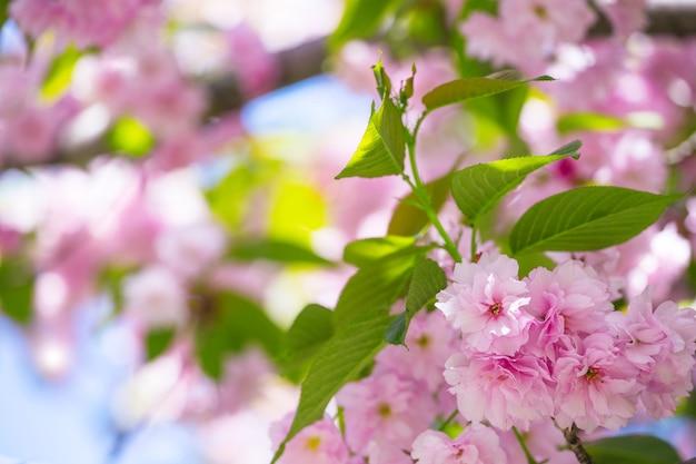 Kersenbloesem mooi, sakura. japan