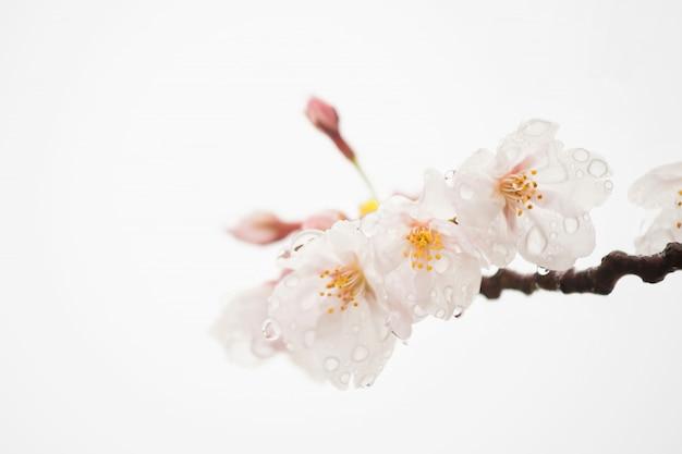 Kersenbloesem of sakura op wit wordt geïsoleerd dat
