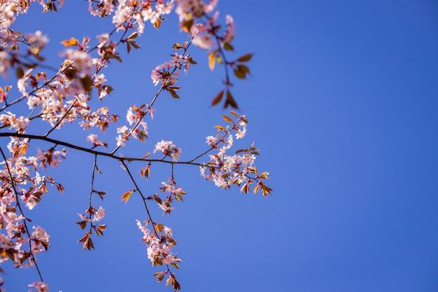 Kersenbloesem, sakura bloemen geïsoleerd op blauwe achtergrond. roze bloemen op hemelachtergrond in lentetijd.