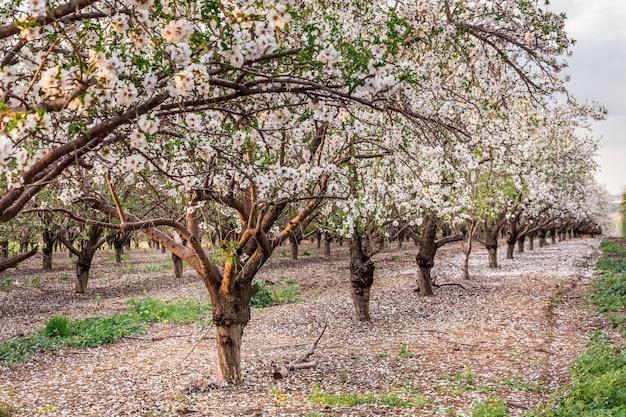 Kersenbloesem, sakura boom bloeien, roze bloemen