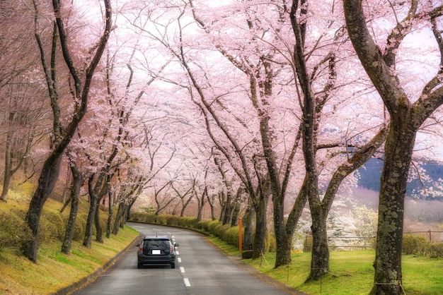 Kersenbloesem tunnel tijdens het voorjaar in april langs beide zijden van de prefectuur snelweg