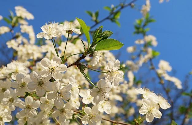 Kersenbloesemboom in de hemel