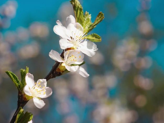 Kersenbloesems in de lente.
