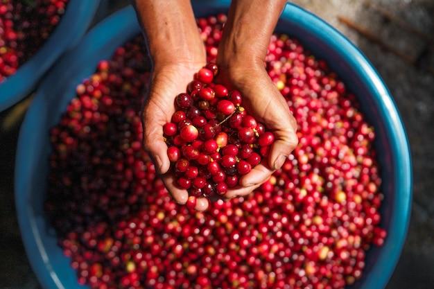 Kersenbonen, rode koffie in de zak en op de hand