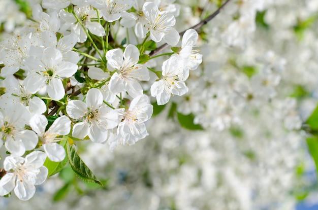 Kersenboom bloeit. de witte lente bloeit close-up. soft focus voorjaar seizoensgebonden achtergrond.