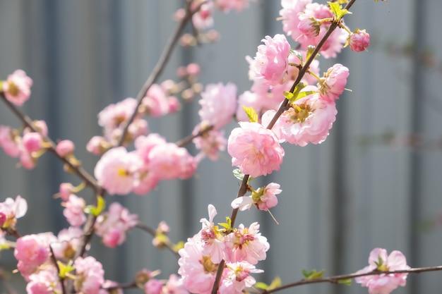 Kersenboom in bloei