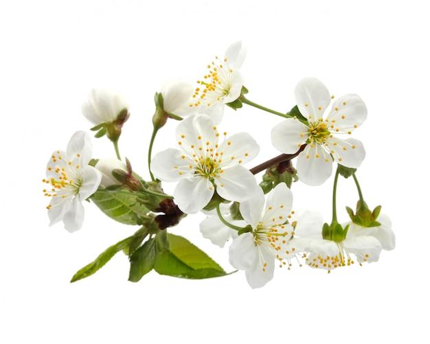 Kersentakje in geïsoleerde bloei