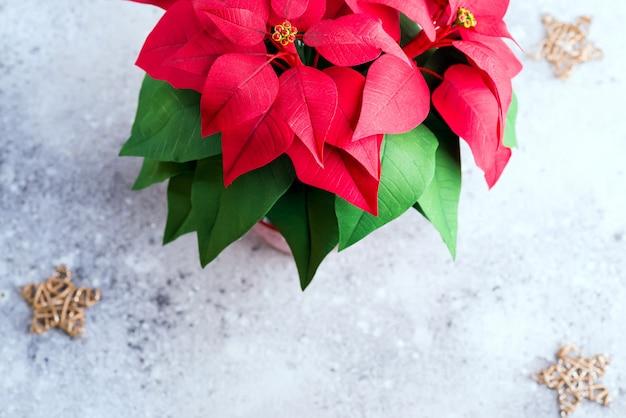 Kerst bloem poinsettia op lichte steen met gouden sterren.