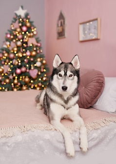 Kerst husky hond. hotelconcept voor dieren. puppy nieuwjaar