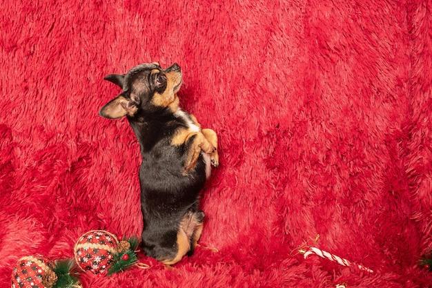 Kerst met een hond. chihuahua op een bordeauxrode achtergrond met nieuwjaarsspeelgoed.