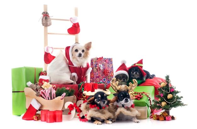 Kerstmis chihuahuas