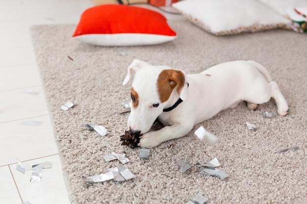 Kerstmis en huisdierenconcept - jack russell terrier-puppy knabbelt aan een spar.