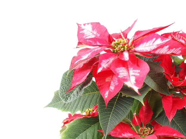 Kerstster plant