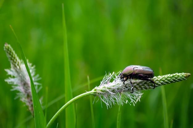 Kever op een grassprietje in het zonlicht
