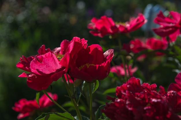 Kiem van een pioen. open pioen bud. rode pioenen in de achtertuin