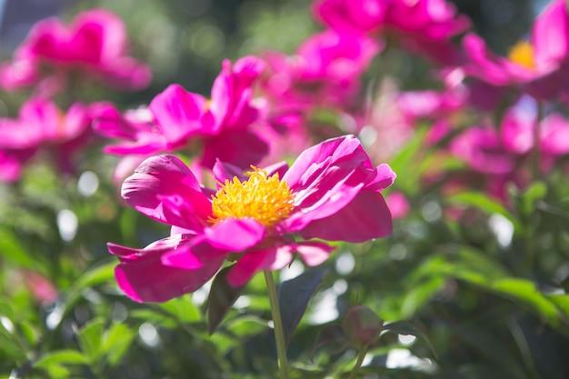Kiem van een pioen. open pioen bud. roze pioenrozen in de achtertuin