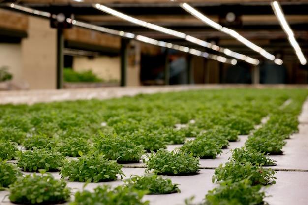 Kieming rucola op steenwol voor hydrocultuur. voorbereiding voor de teelt van planten in de tuin. groene spruit. broedplaats. natuurlijk product.