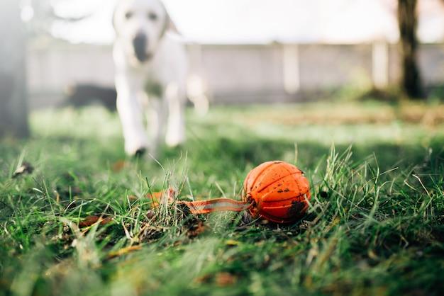 Kijk hoe de hond een bal vindt en buiten traint. snuffelaar op zoek naar speelgoed op de speelplaats