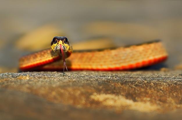 Kijk naar de geschilderde keelback-slang