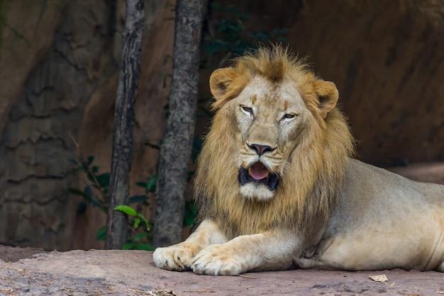 Kijk naar lion, nature