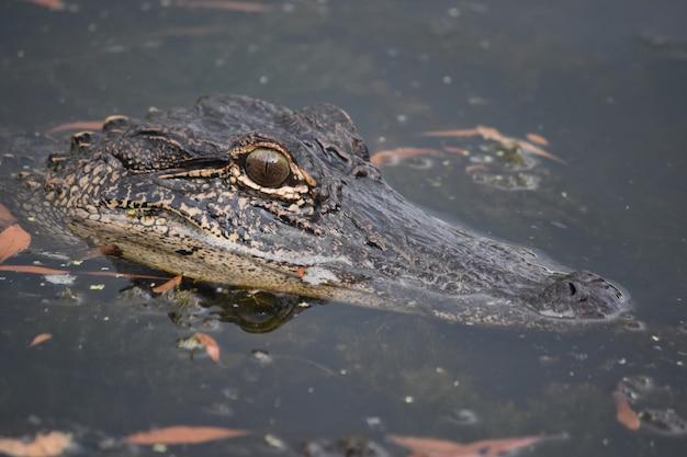 Kijken in het gezicht van een alligator in louisiana.