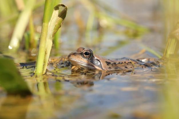 Kikker in een vijver tijdens de paartijd