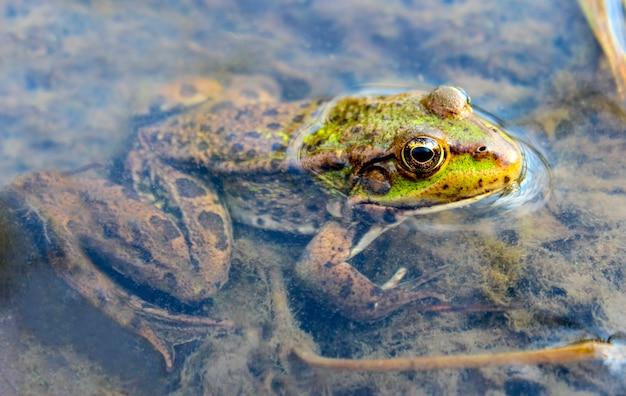 Kikker zit in een moeras om zijn hoofd uit het water te steken