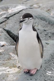 Kinbandpinguïn op de sneeuw in antarctica