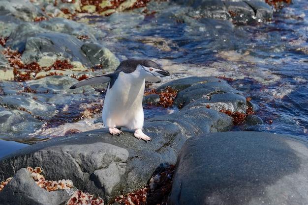 Kinbandpinguïn op het strand in antarctica met bezinning