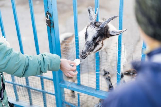 Kinderen voeden een geit in een dierentuin